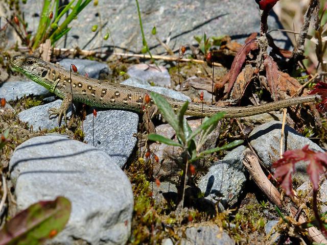 Eidechse   Zauneidechse  lizard sand lizard
