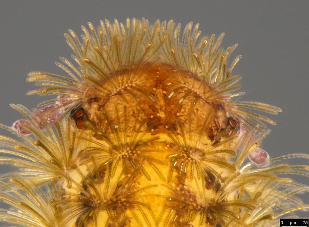 10b - Polyxenidae sp.