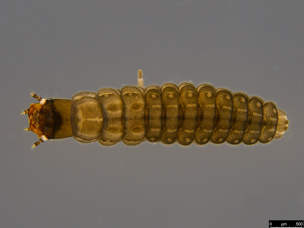 14b - Coleoptera sp.