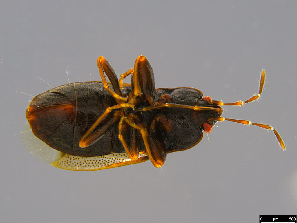 15b - Rhyparochromidae sp.