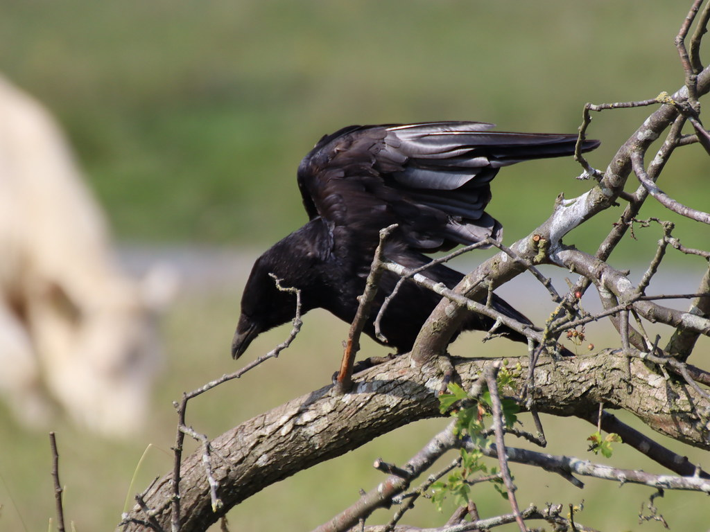 Carrion Crow Taking Off