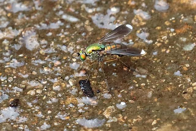 Poecilobothrus nobilitatus (m)