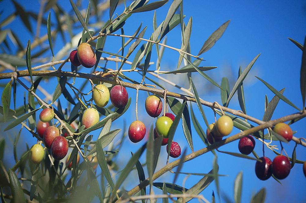 _olives_