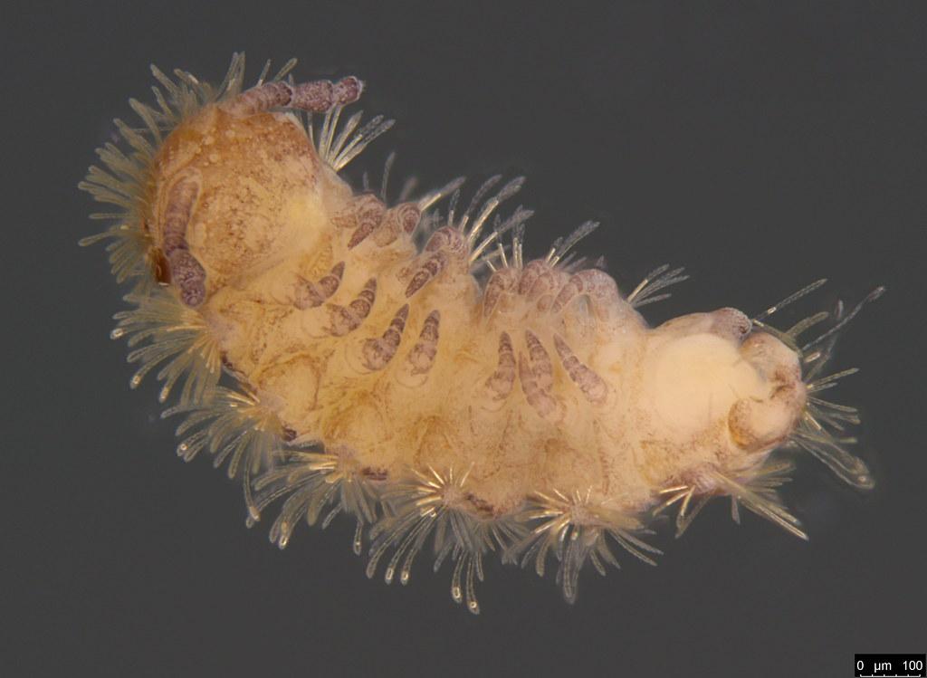 11b - Polyxenidae sp.