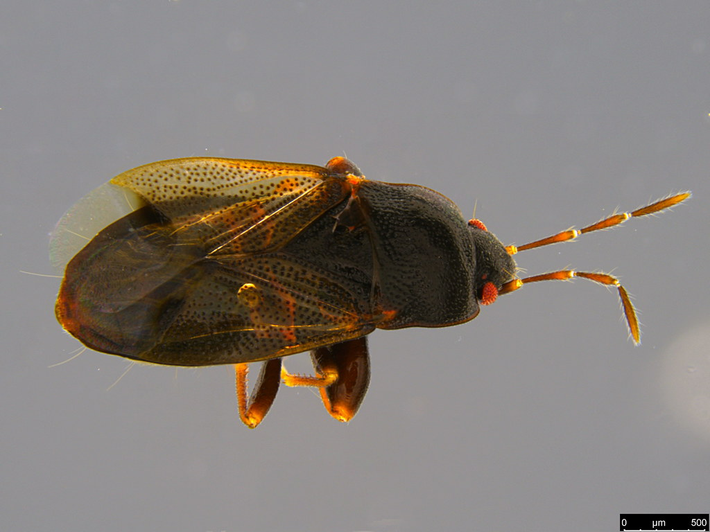 15a - Rhyparochromidae sp.