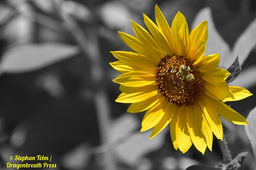 DSC_5281_Colorsplash sunflower & long-horned bee