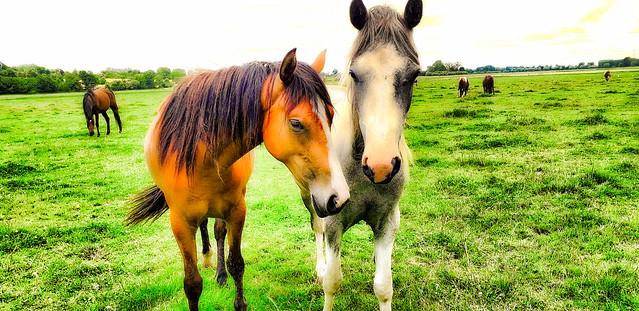 Les chevaux du marais.