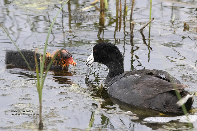 American Coot adult feeding young