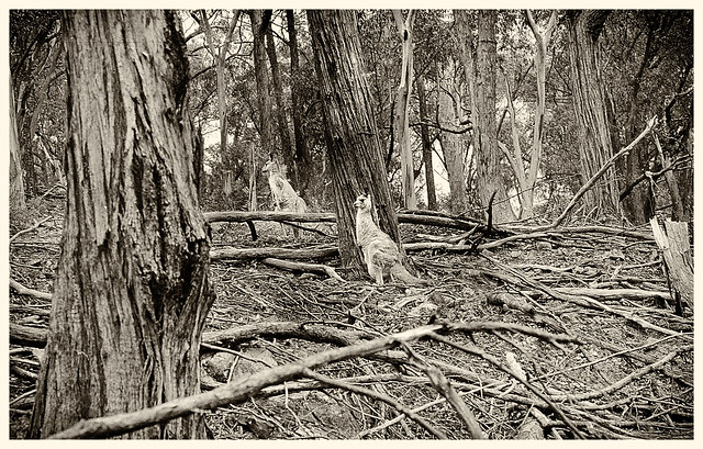 Roos in the scrub  ...Ilford HP4  125