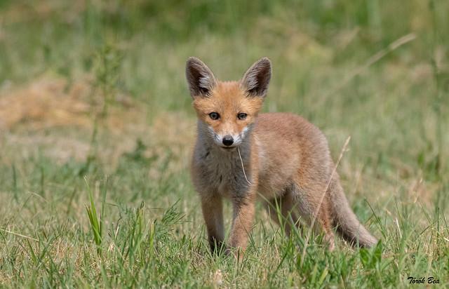 Fox ❤️  (Vulpes vulpes)