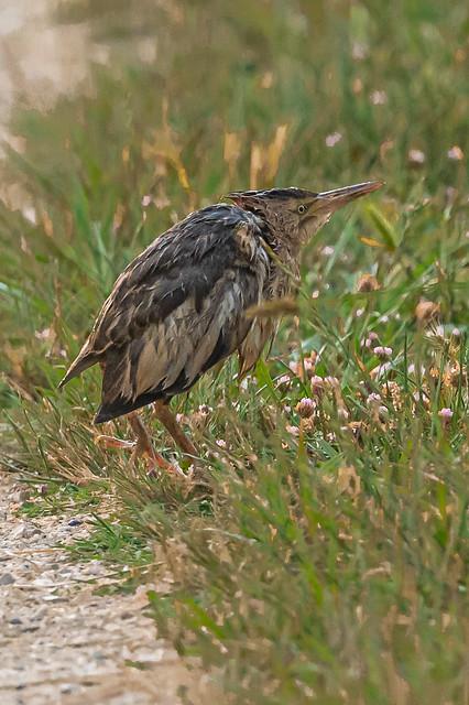 Martinet comu menut - Avetorillo comun - Little bittern - Blongios nain juvénile - Ixobrychus minutus