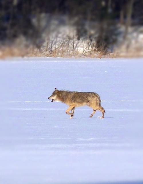 Wolf\Hunt\ Estonian national animal