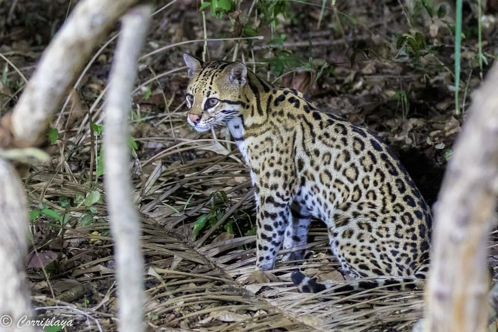 Ocelote, Leopardus pardalis mitis, Ocelot