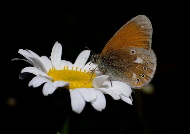 Helmika-aasasilmik. Coenonympha glycerion. Chestnut heath