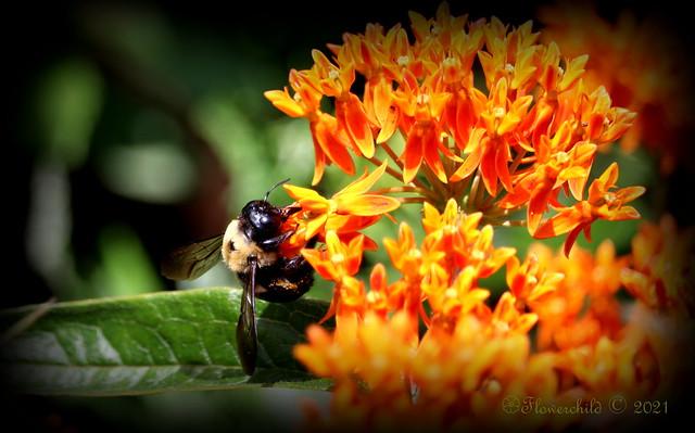 Orange Milkweed with Pollenator