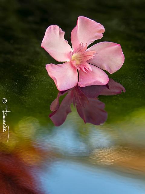 Summer Oleander Reflection.