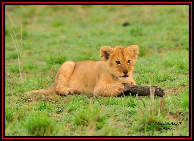 LION CUB RELAXING  (Panthera leo)....MASAI MARA.....OCT 2020.