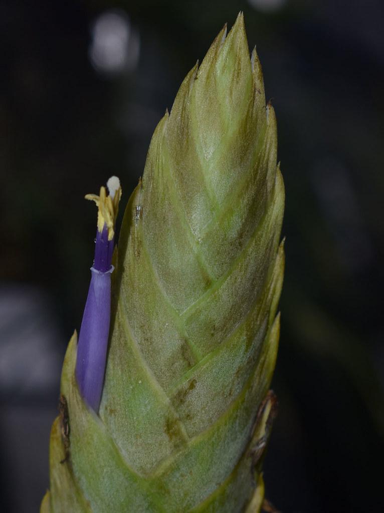 Tillandsia ?, Flecker Botanic Garden, Cairns, QLD, 31/05/21