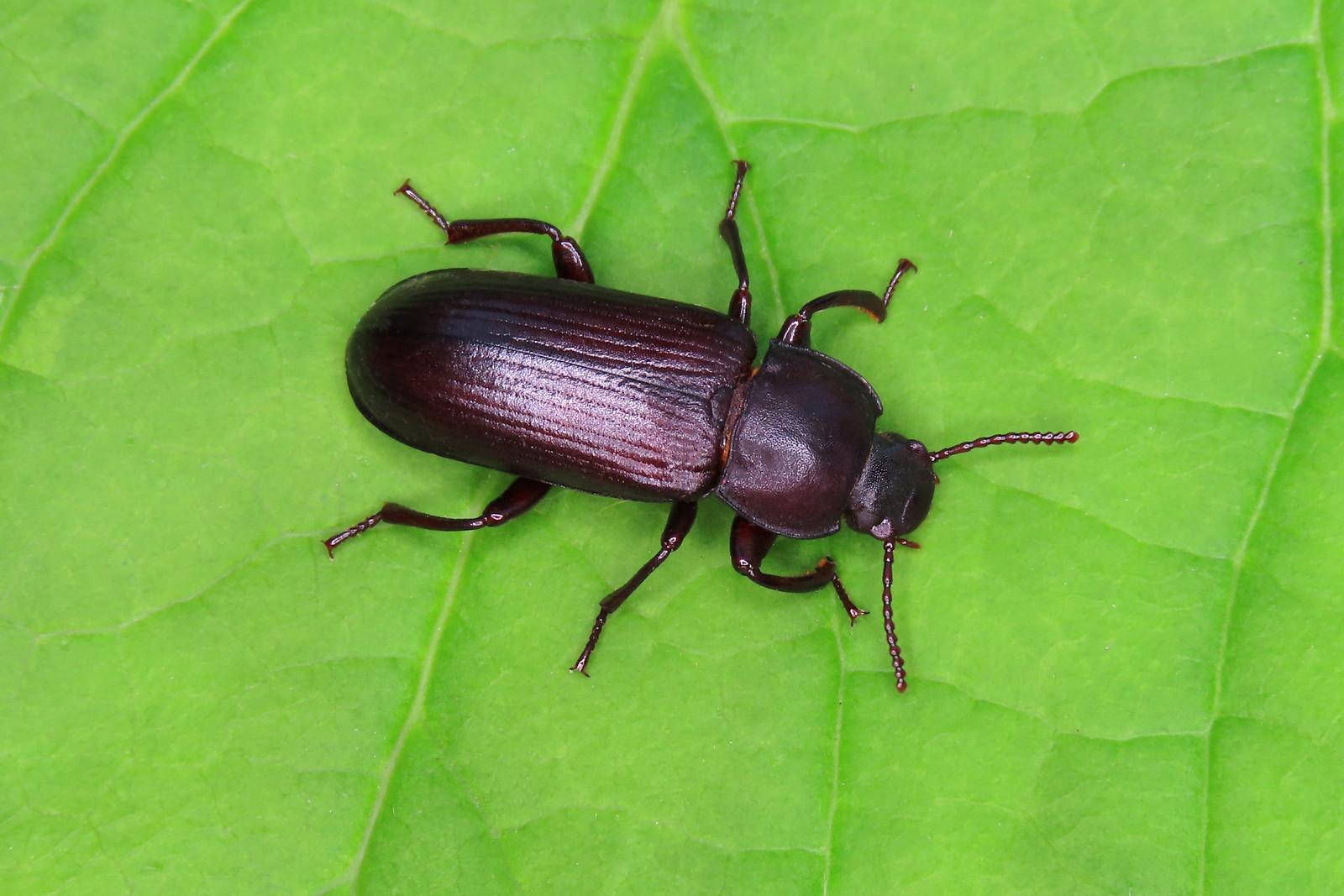 Mealworm Beetle - Tenebrio molitor [A]