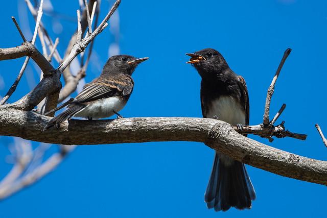 Look of envy - (Juvenile) Black Phoebes
