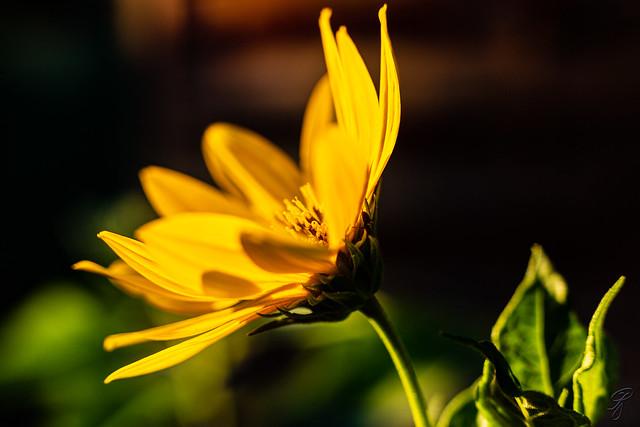Blazing in the evening light (explored)
