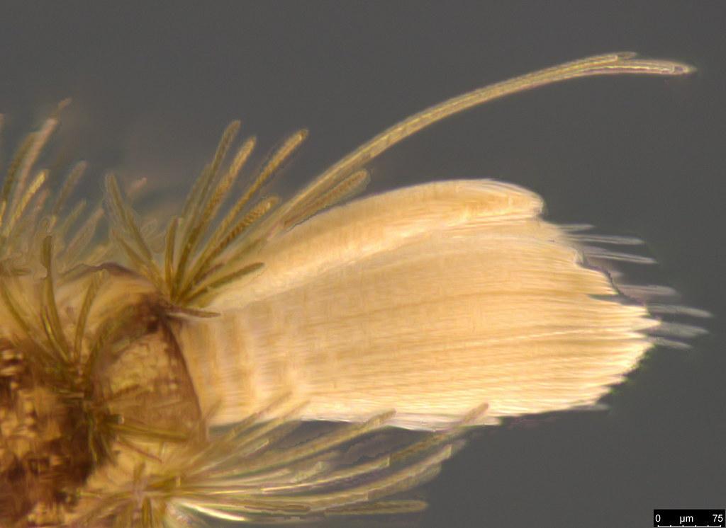 10f - Polyxenidae sp.