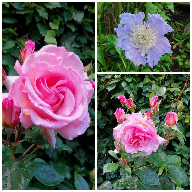 Roses and Pincushion Flower.