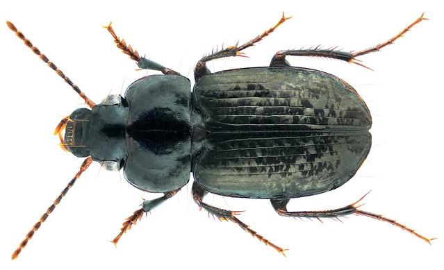 Aephnidius adeloides Macleay, 1825