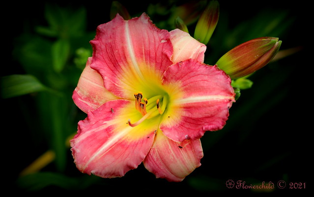 2021 Pink Day Lily II