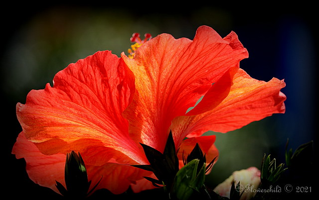 2021 Red Hibiscus II