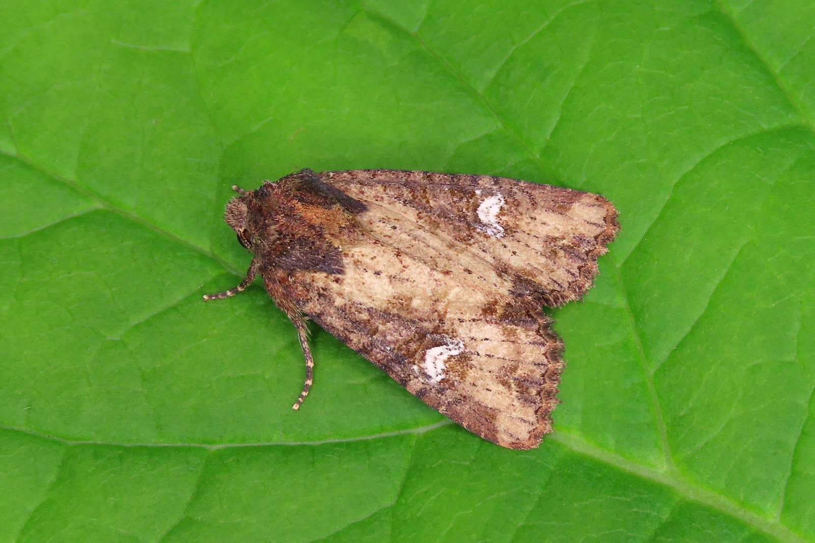 73.169 Common Rustic agg.- Mesapamea secalis agg.