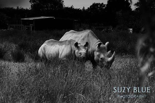 B&W Rhinos