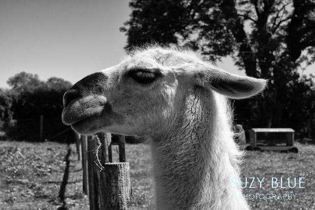 B&W Llama