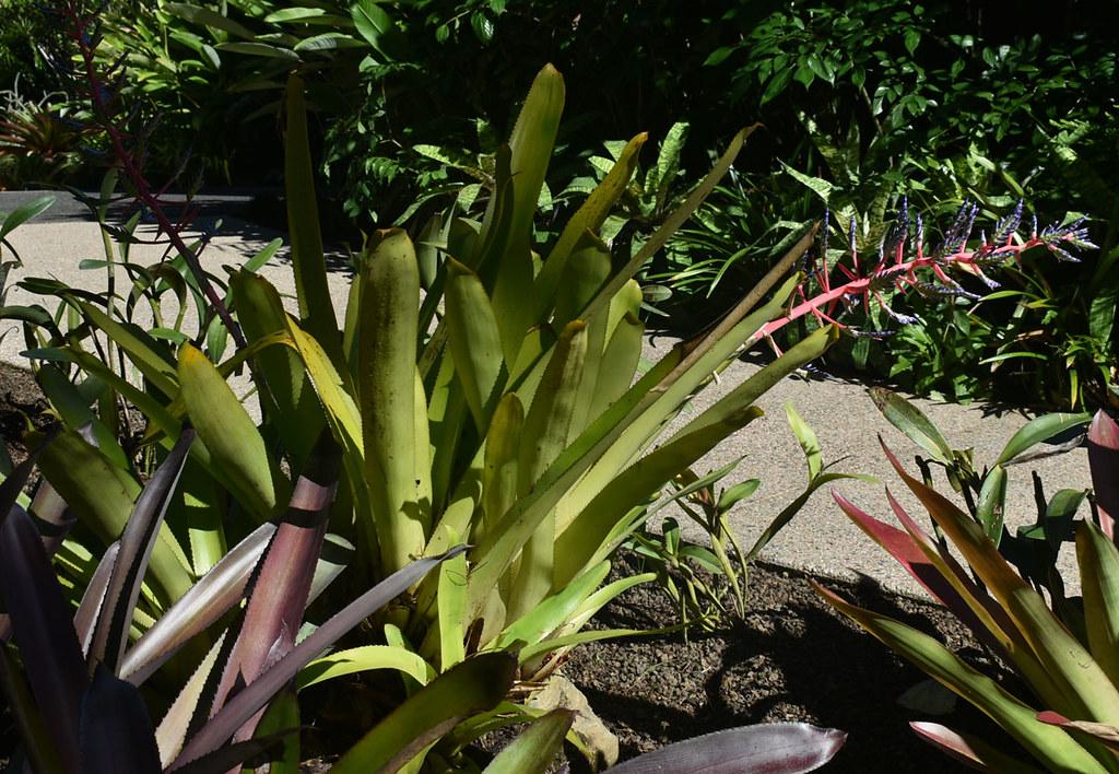 Aechmea Blue Tango, Flecker Botanic Garden, Cairns, QLD, 03/06/21