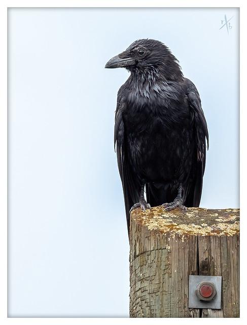 Crow 03