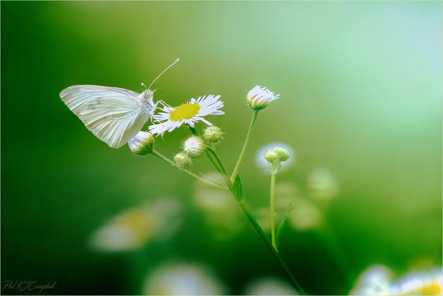 Cabbage White Burtterfly