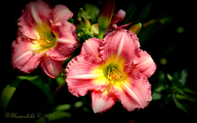 2021 Pink Day Lily I