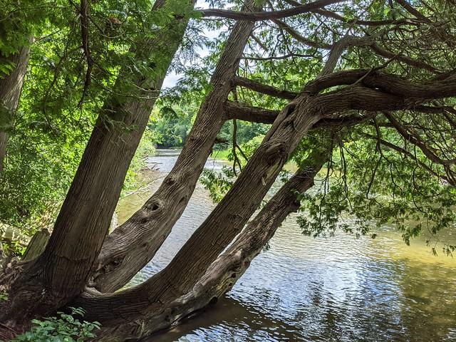 Tree & Speed River