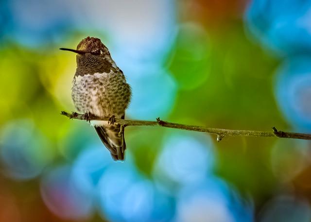 The Guardian of the hummingbird feeder #3