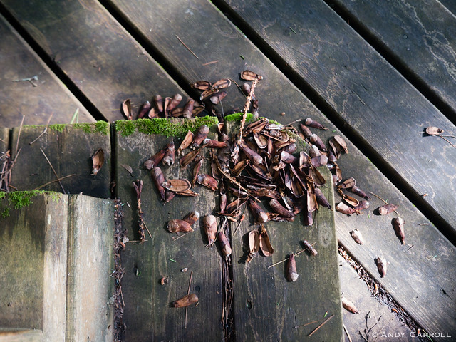 Stairs, pinecone, squirrel