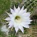 same cactus as earlier - bloomed
