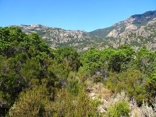 Chemin du Finicione RD : le col à Livisani (535m) - suite du chemin bien maquisée