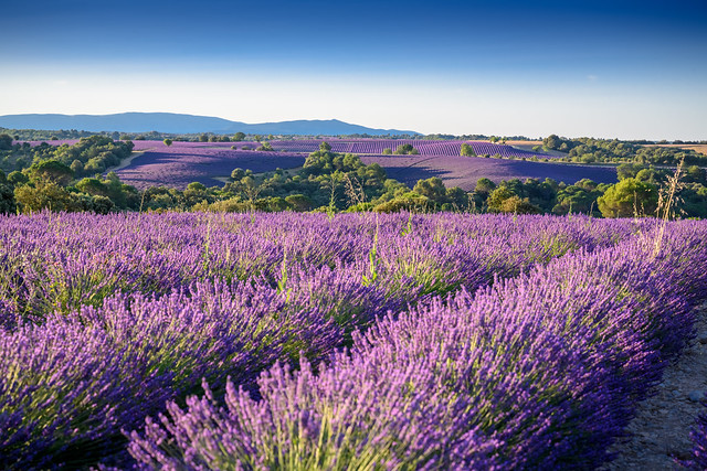Lavendelfelder Valensole
