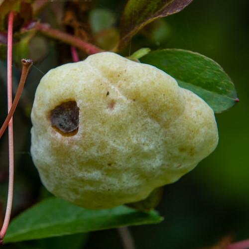 Cowberry redleaf fungus on an azalia