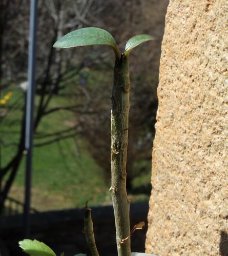Plumeria - frangipanier 51304566963_d8f7a11f4a