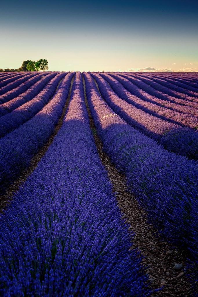 Lavendel Valensole