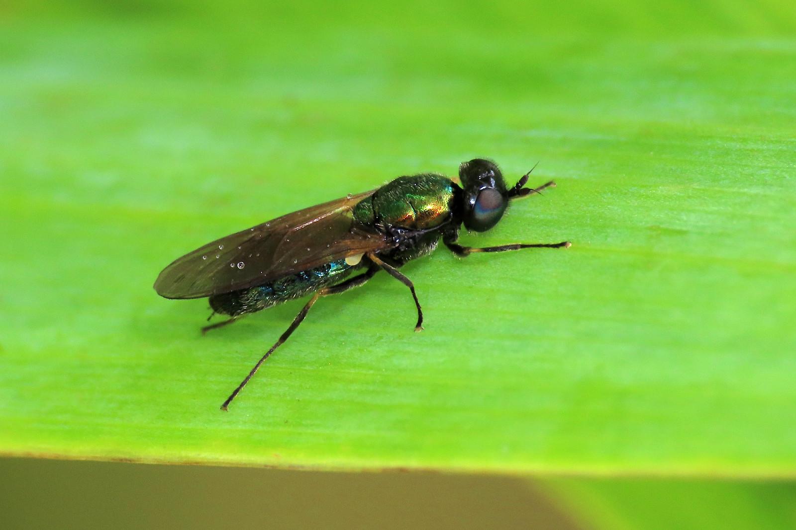 Chloromyia formosa - Broad Centurion
