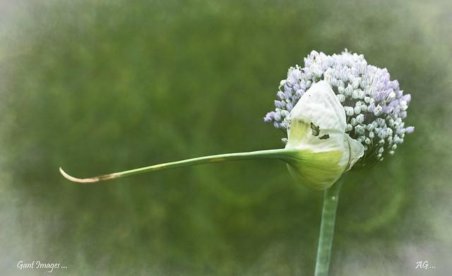 Pinocchio Flower ...