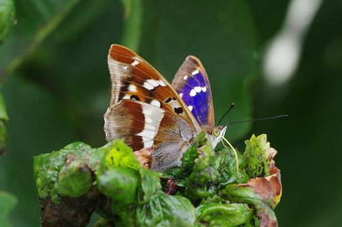 purpleemperor apaturairis insect butterfly wild wildlife nature barhill cambridgeshire garden cherrytree aberrant