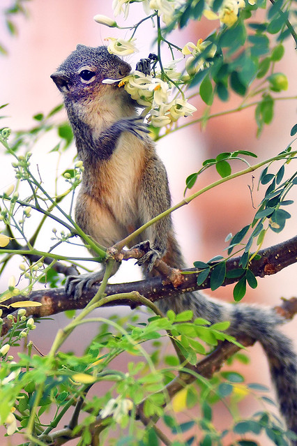Squirrel Eating Moringa Flower